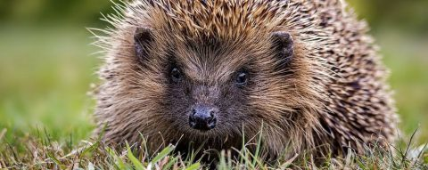 Basic First Aid, Care and Rehabilitation of Hedgehogs